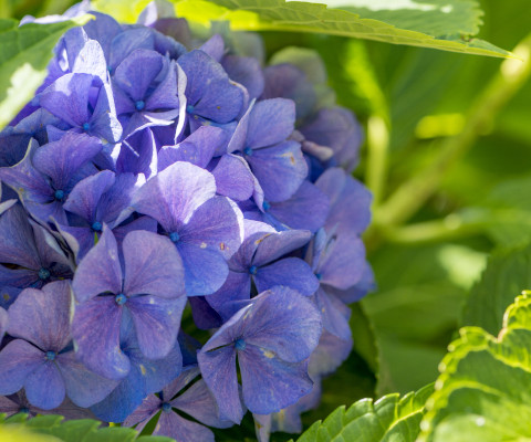 Blau gefärbte Hortensie