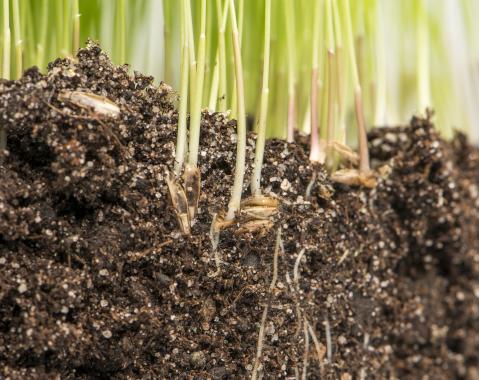 Mit Phosphorquelle zur Förderung des Wurzelwachstums der Saat