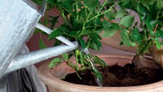 Tuin Potten Groothandel : Rozen planten in potten dcm