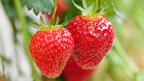 Aardbeien planten