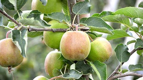 Planter des arbres fruitiers et des arbustes à petits fruits