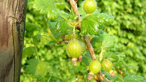 Het onderhoud van fruitbomen en kleinfruit