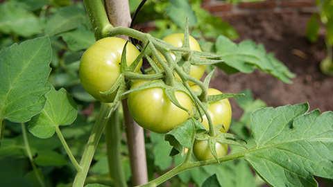 Tomatenplanten verzorgen