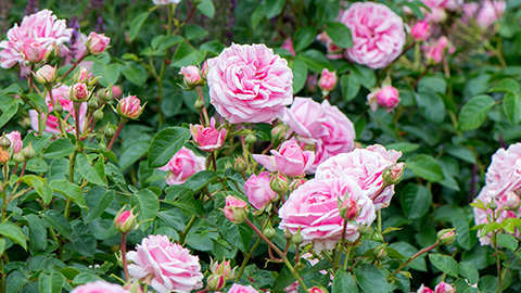 De mooiste rozen staan in jouw tuin