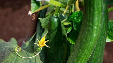 Gezonde tomaten, komkommers en paprika's kweek je ook op je eigen balkon.
