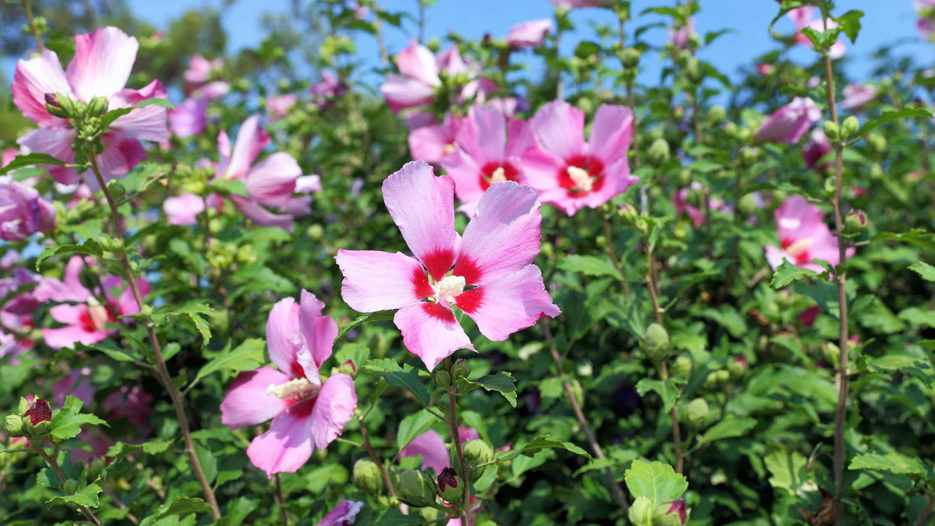 De hibiscus in de tuin aanplanten.