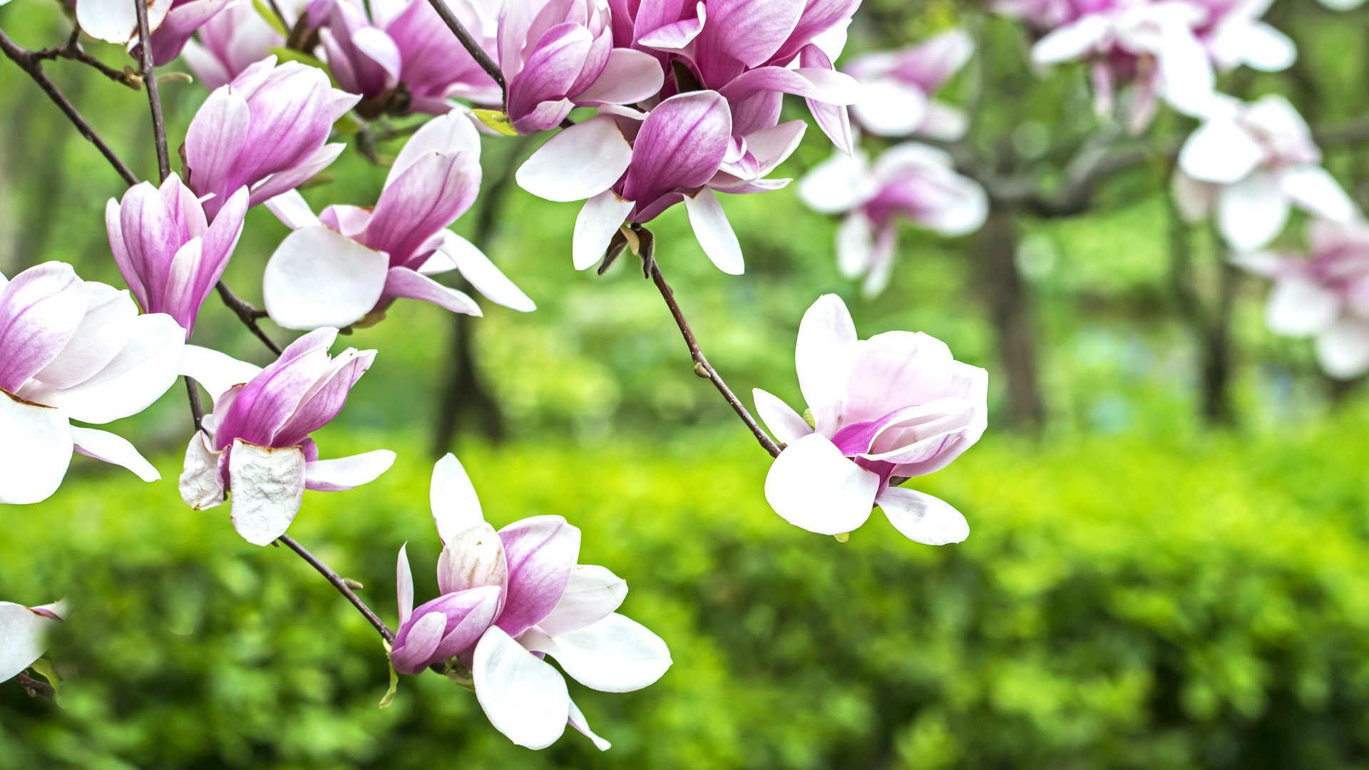 De magnolia voeden voor een weelde aan bloemen