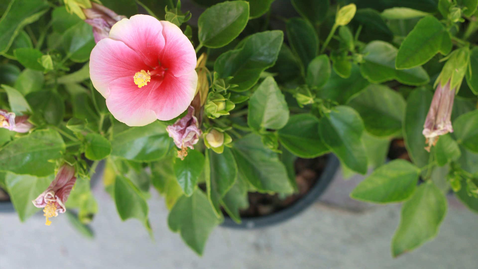 Terrasplant van het jaar 2016; de hibiscus