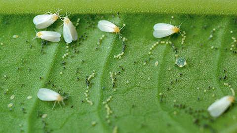 Wat is de witte vlieg en hoe bestrijd je ze?
