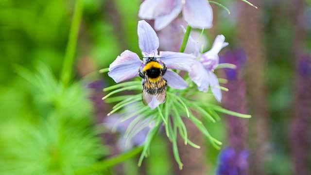 Hommels en bijen onmisbaar voor bestuiving