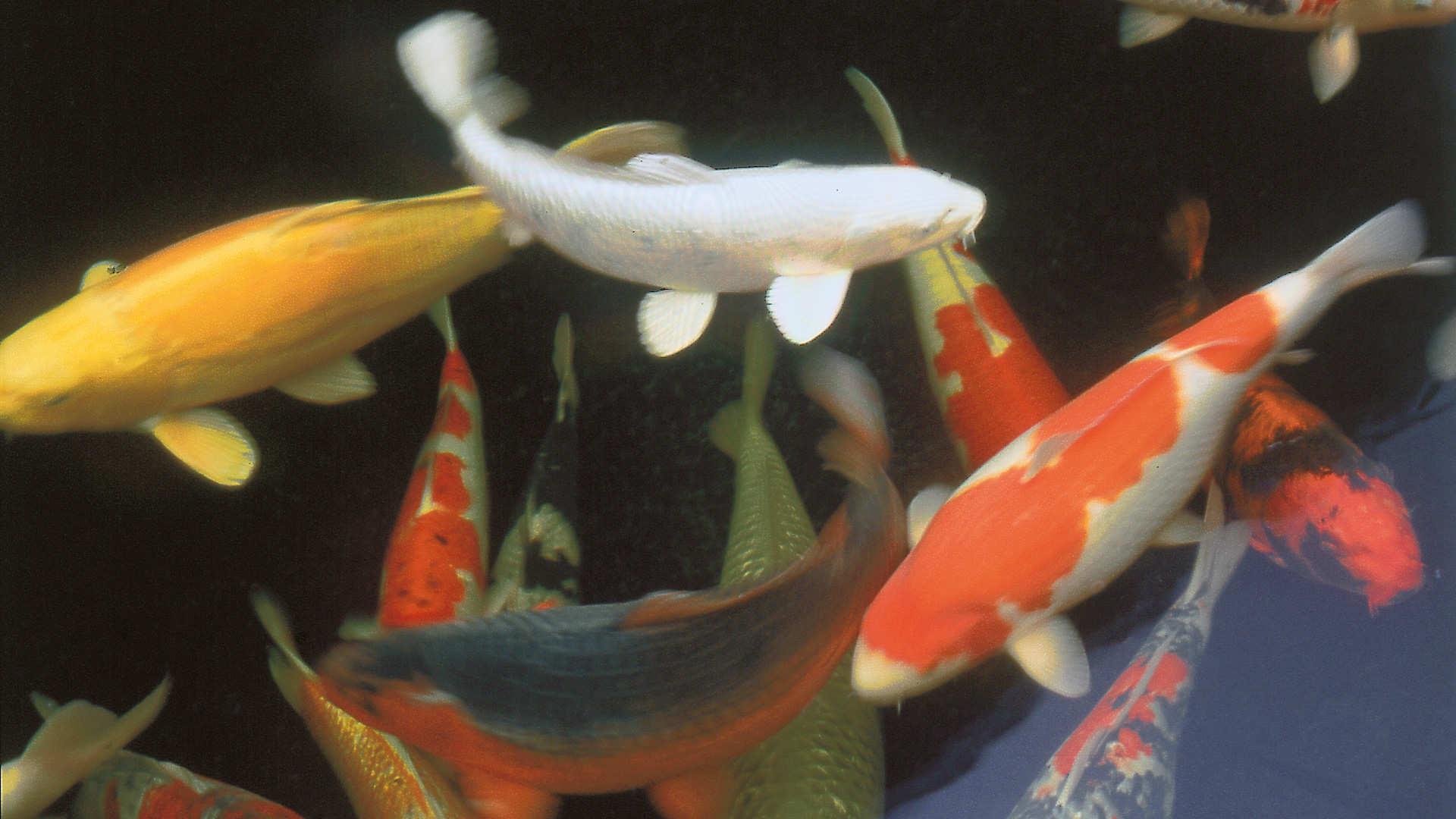 Vissen In Vijver : Aantal vissen dcm