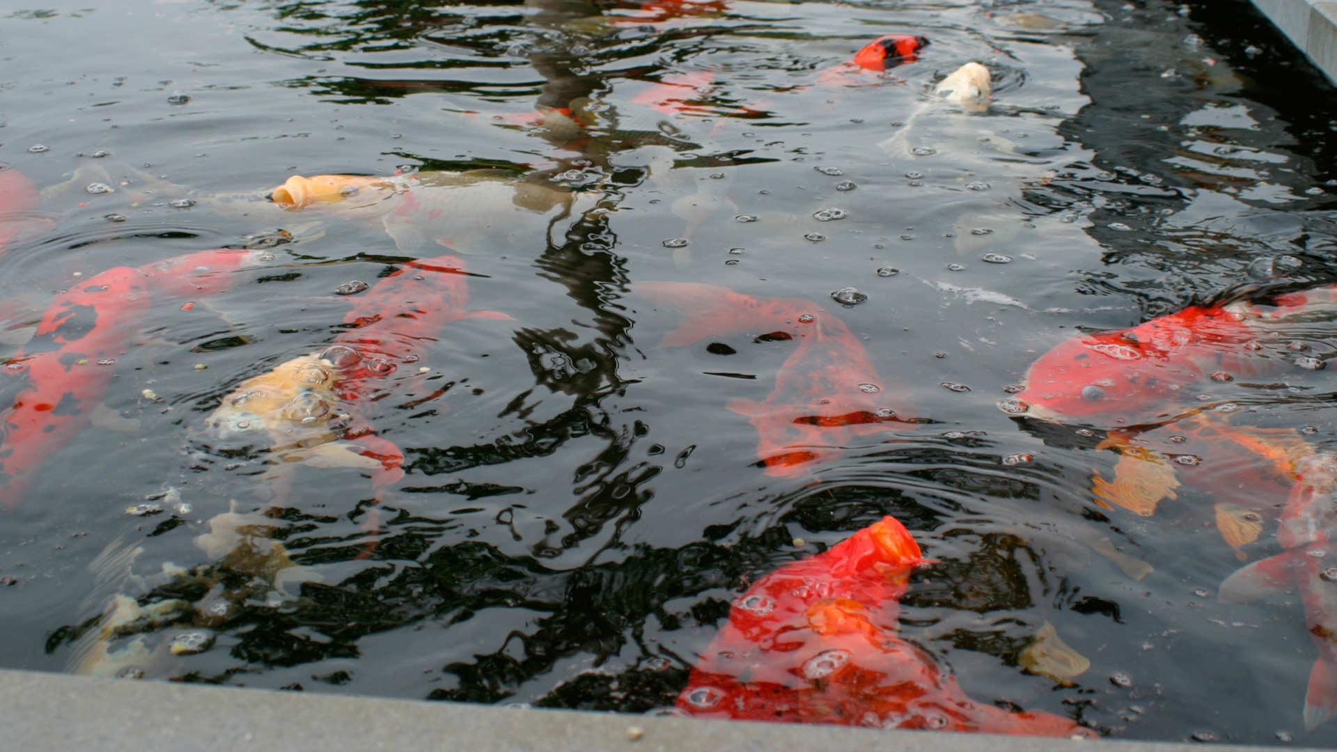 Acclimatation des poissons