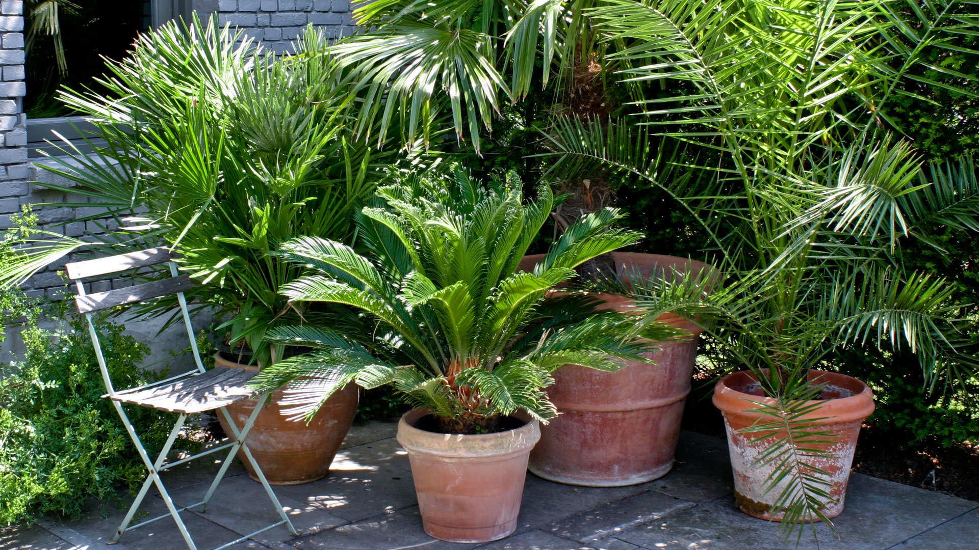 Palmen voor binnen en buiten dcm for Grote planten voor binnen