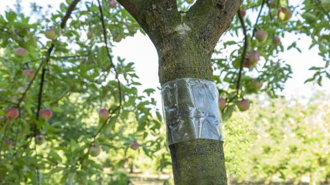 Bescherm je fruitbomen tegen kruipende insecten