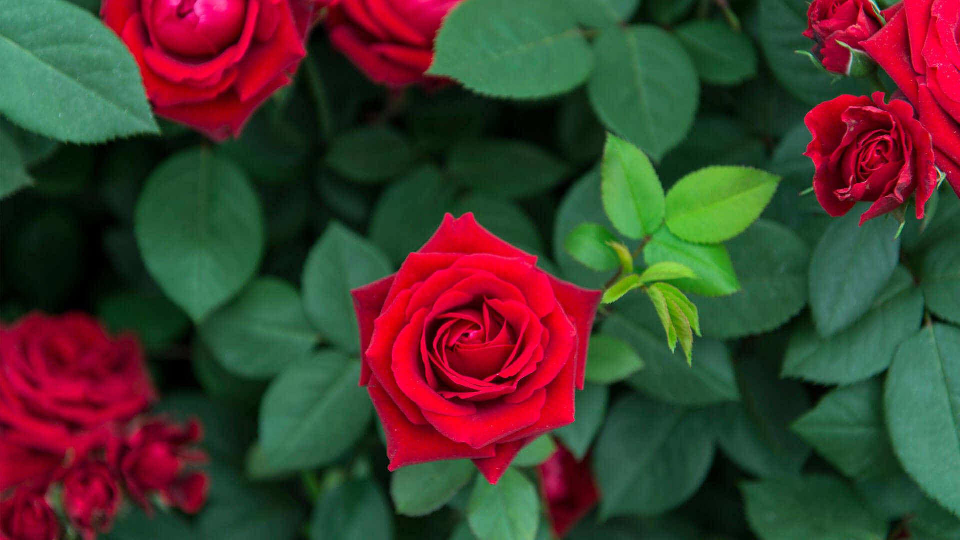 Comment planter correctement vos rosiers?