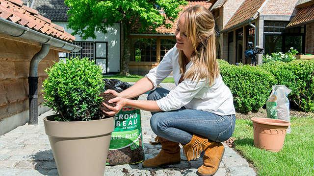 Buxus planten in potten