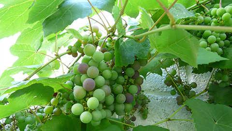 Druiven bekalken en bemesten