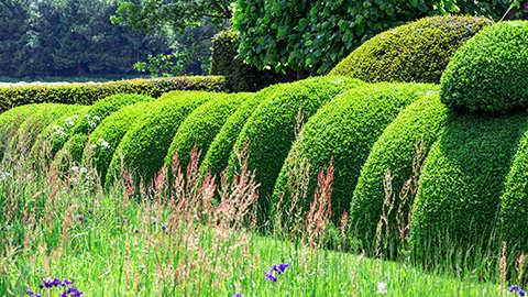 Buxus planten in volle grond