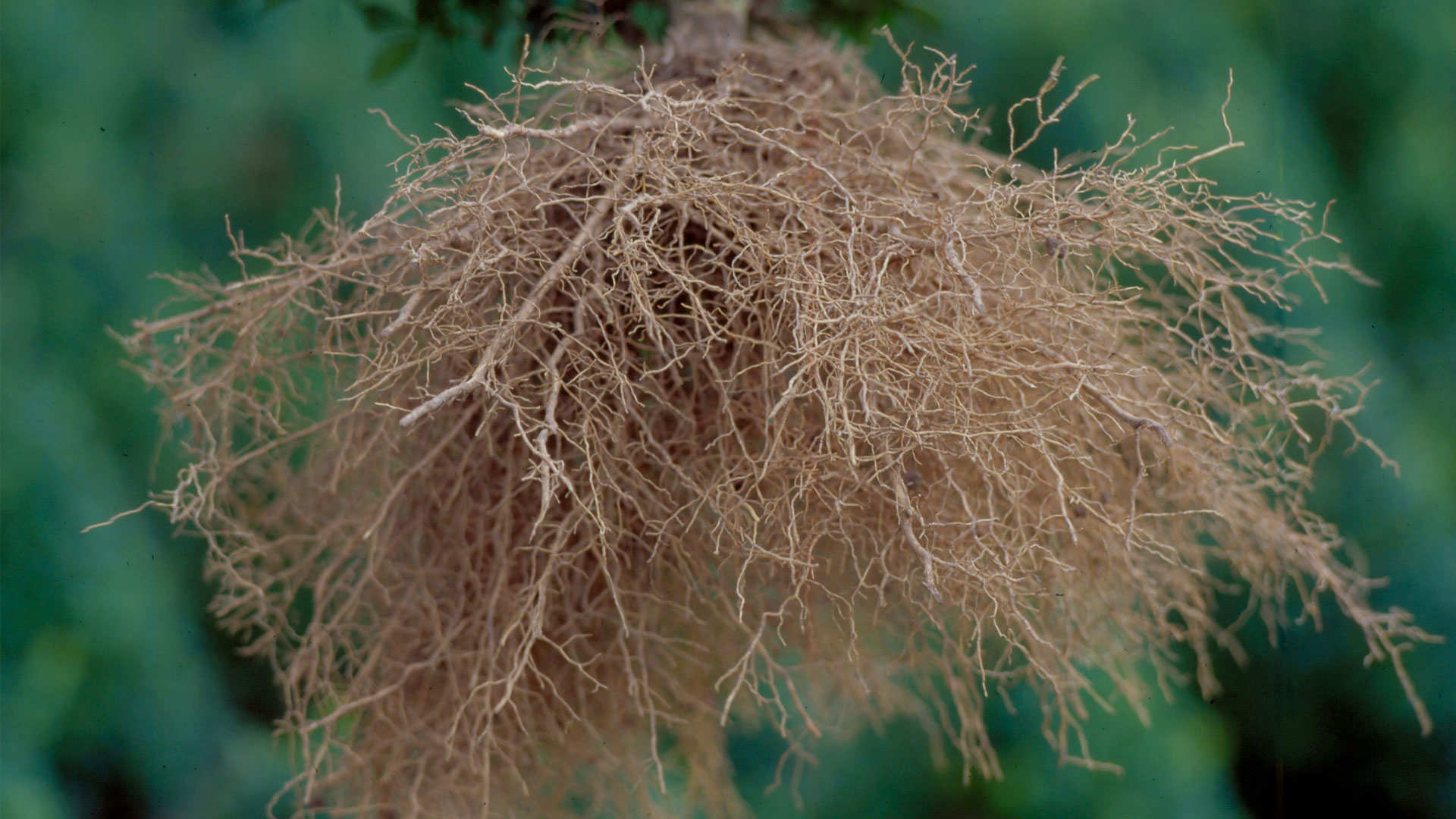 De groei van gezonde en stevige wortels verzekeren bij het aanplanten
