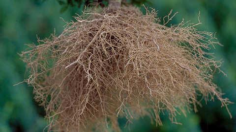 Assurer la croissance de racines saines et solides lors de la plantation