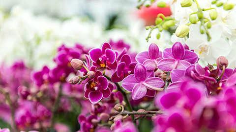 De fascinerende schoonheid van orchideeën