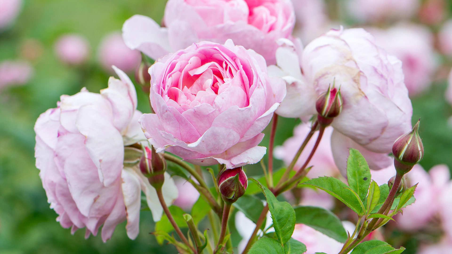 Bemestingsadvies voor rozen