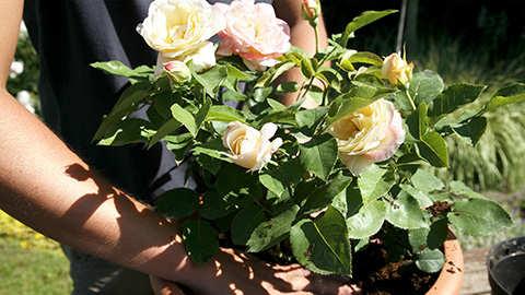 Planter des rosiers en pot