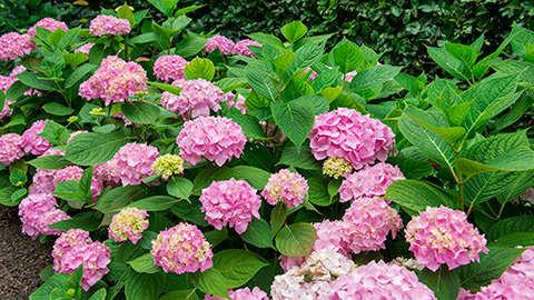 La plantation des hortensias