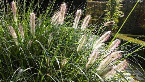 Siergrassen planten