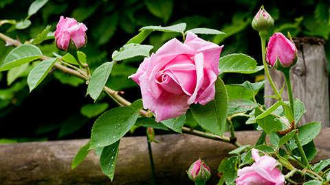 Le chaulage et la fertilisation des rosiers