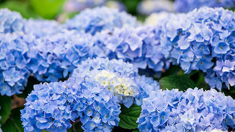 Le secret d'hortensias bleus