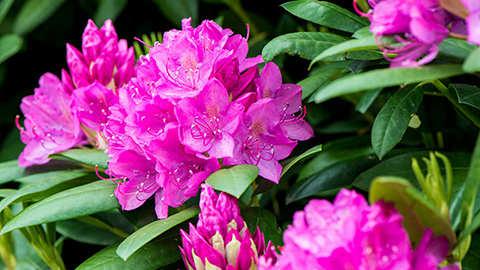 Hoe rododendrons, azalea's en andere zuurminnende planten bemesten?