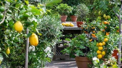 Blattfall und Blattvergilbung bei Zitruspflanzen