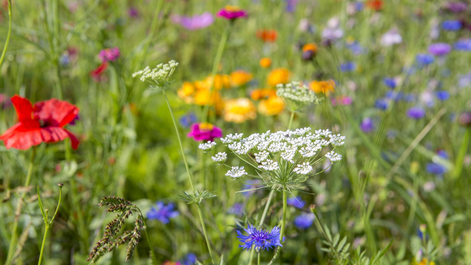 Marienkäfer anlocken: Die 5 besten Pflanzen