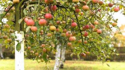 Gebruik feromonen om de fruitmot in je tuin op te sporen!