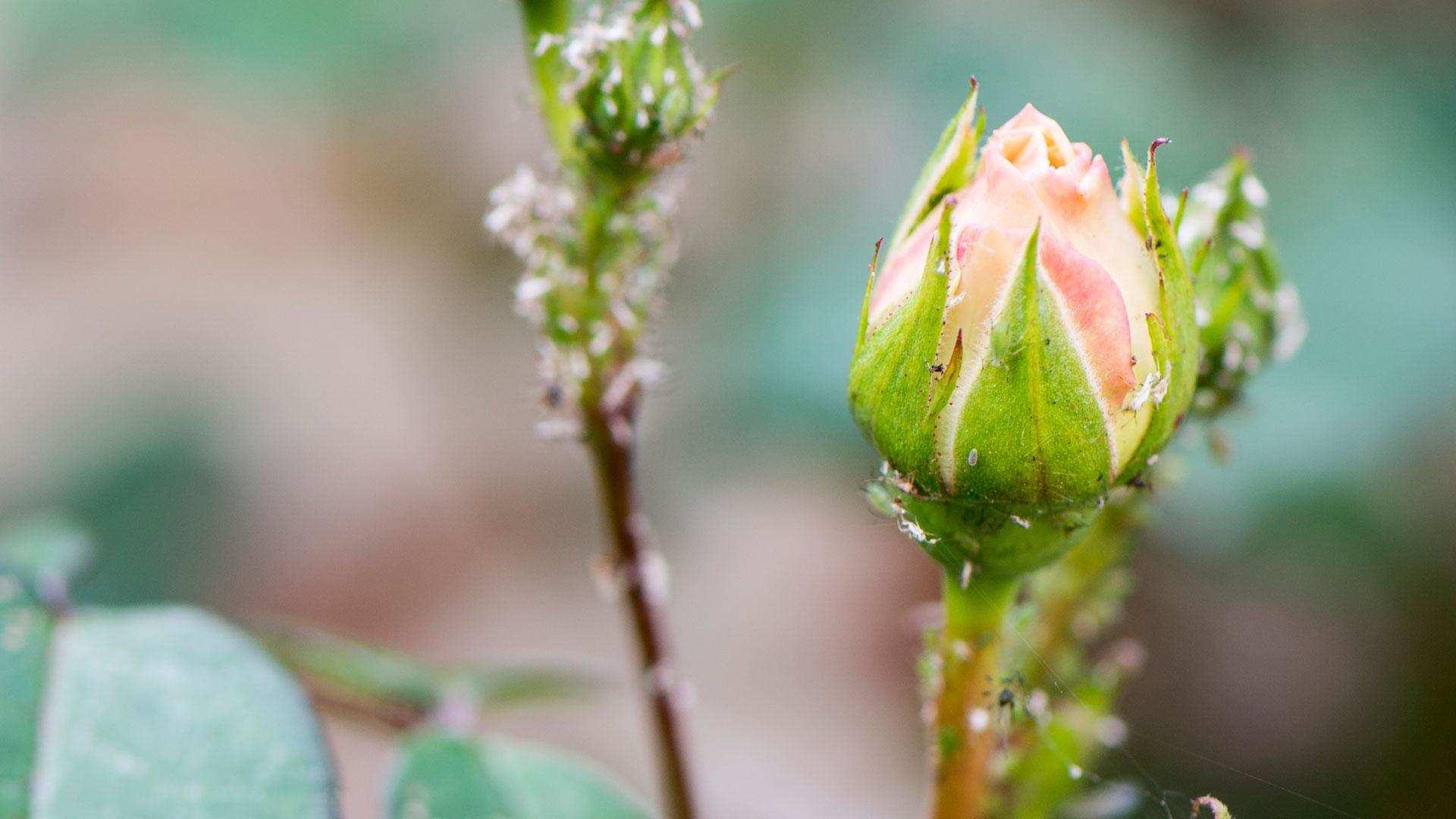 Een plaag bladluizen op je rozen en sierplanten verwijderen
