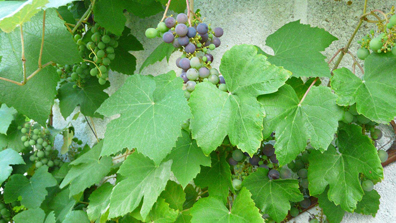 La plantation de vignes