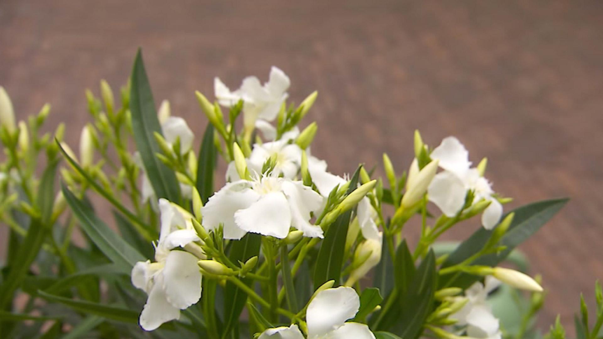 Kwalitatieve potgrond voor perkplanten - DCM Ecoterra® Geraniums, Surfinia® & Bloeiende Planten