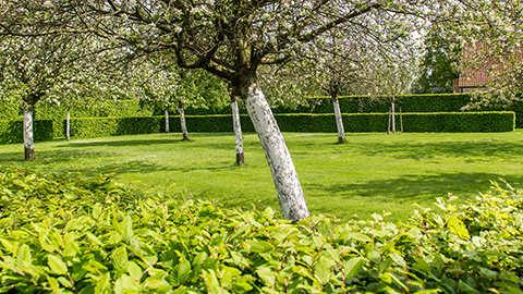 Bescherm je bomen tegen zonnebrand en vraatschade door het aanbrengen van een fysische barrière