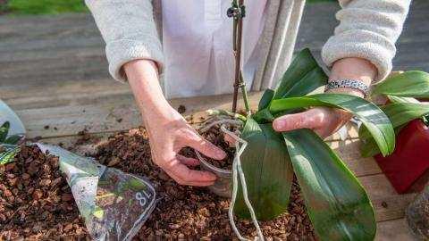 Enkele tips voor het verpotten van orchideëen