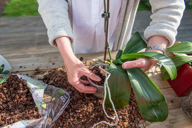 Rempoter et soigner les orchidées