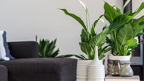 Plante d'appartement