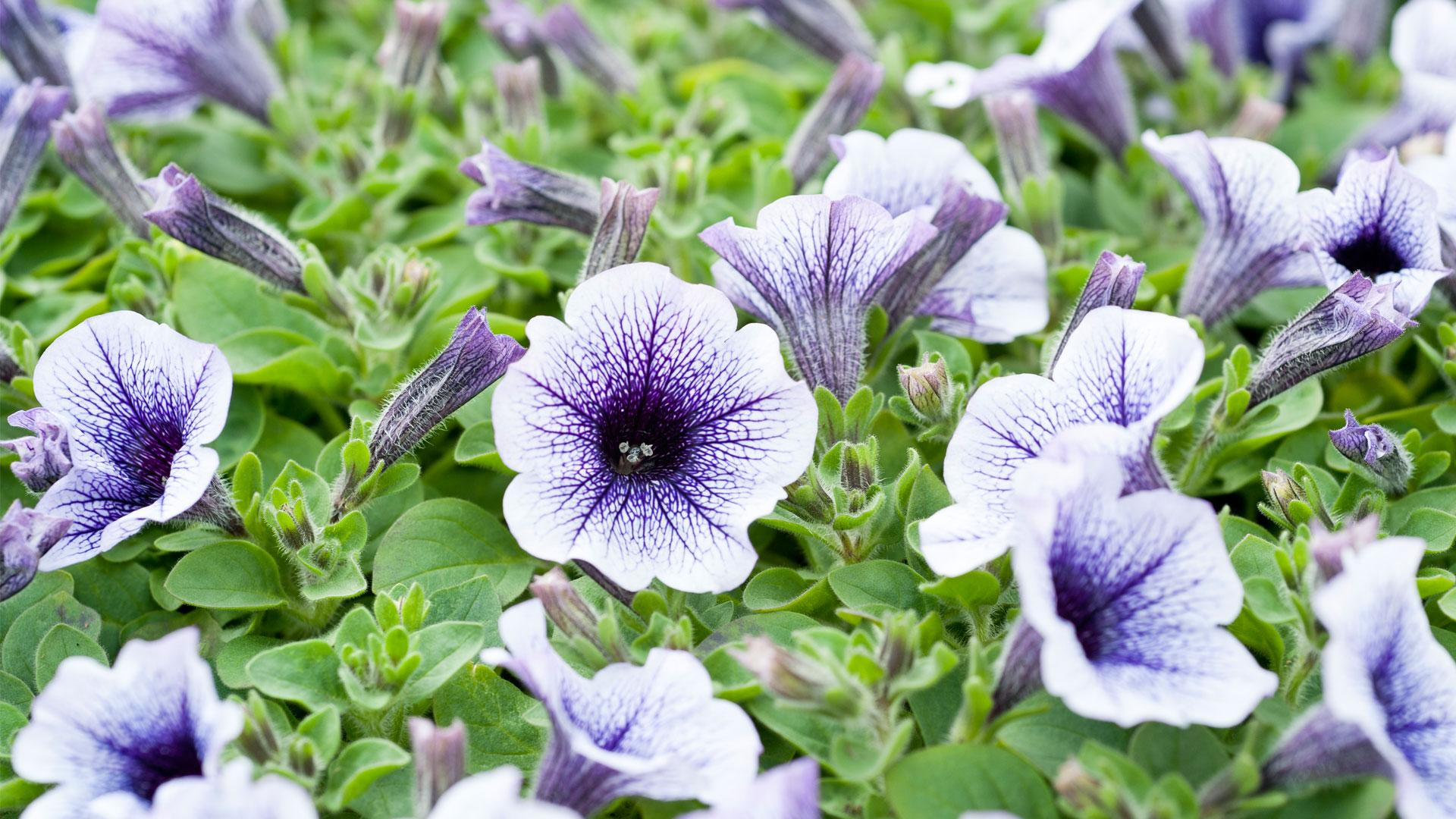 P tunia petunia solanaceae dcm - Fleur en forme de trompette ...