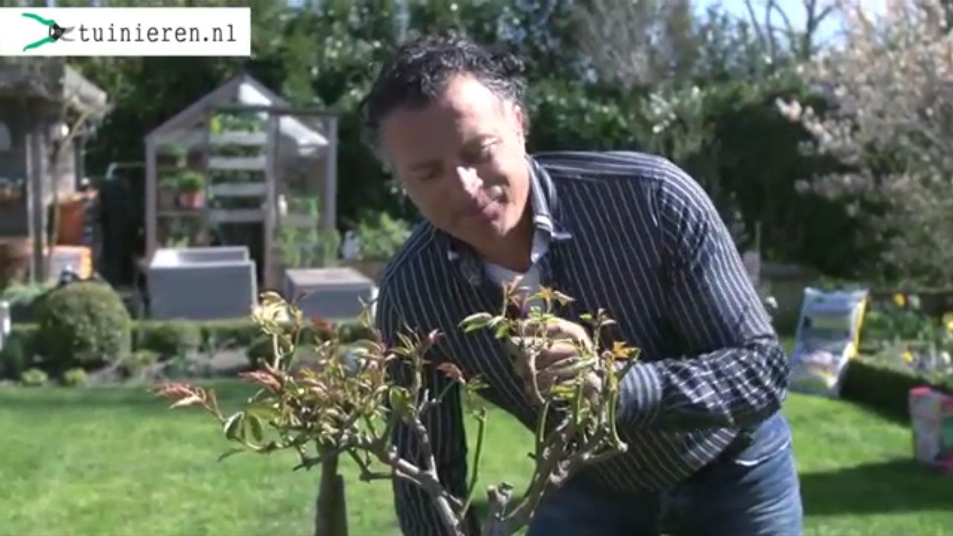Hoe kan ik rozen planten en verzorgen?