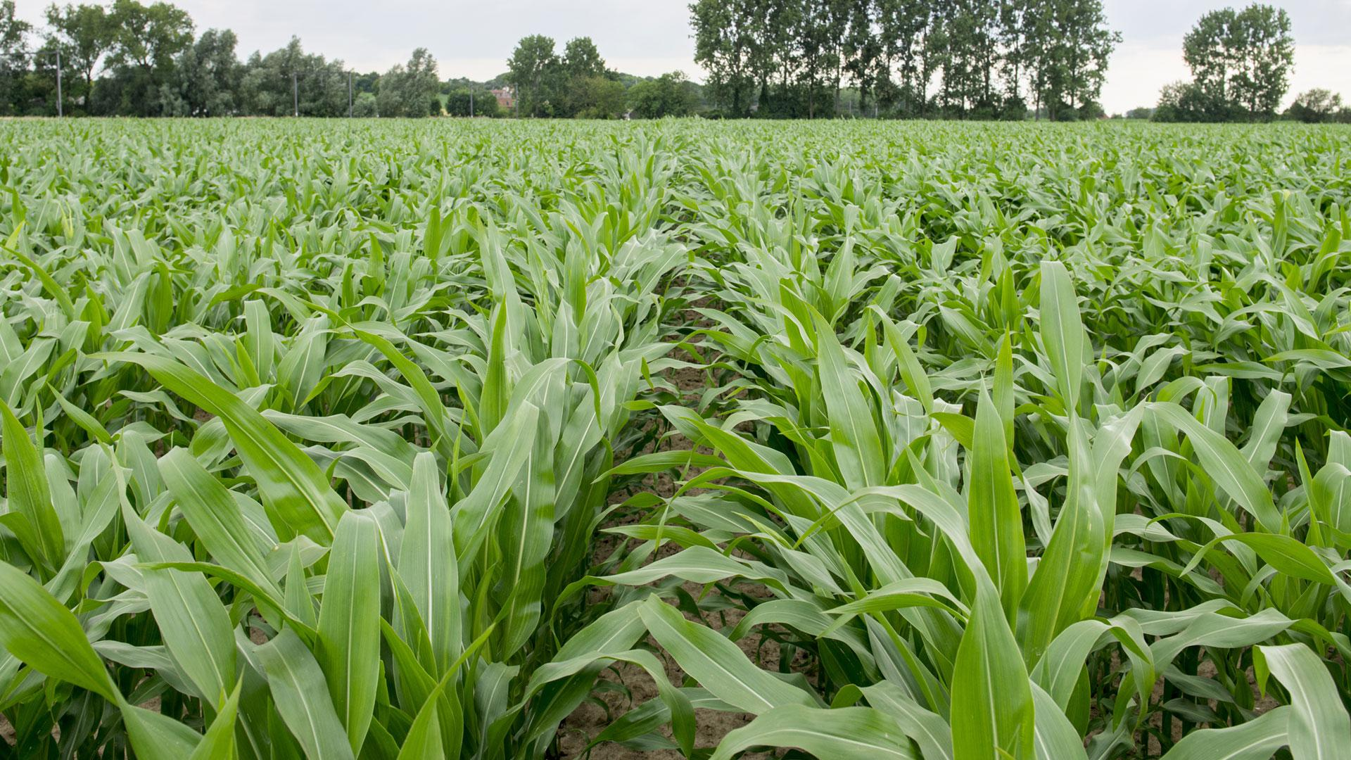 Give maize plants the best changes with DCM STARTEC®